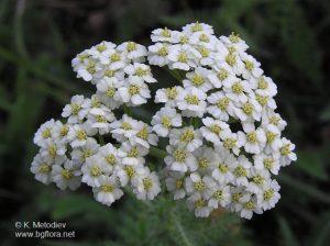achillea_millefolium_1.jpg